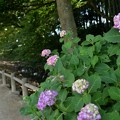 Photos: 川沿いにも紫陽花