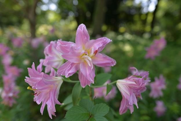 写真: ピンクの八重のユリ2