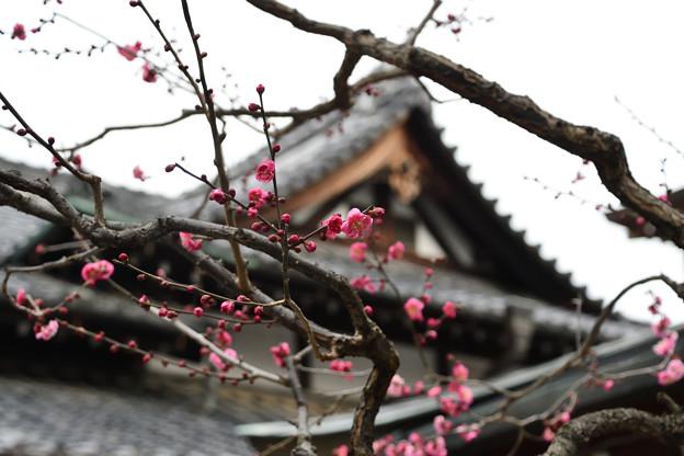 神社と紅梅