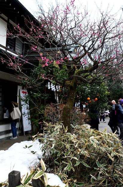 紅梅と残雪