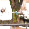 雪カワセミホバ1