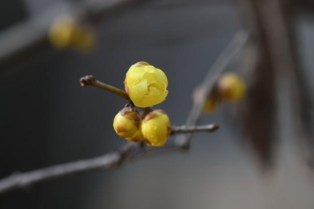 ソシンロウバイ咲き始め