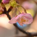 写真: 鉢植え河津桜開花