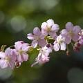 ピンク色が美しい河津桜