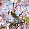 河津桜吸蜜