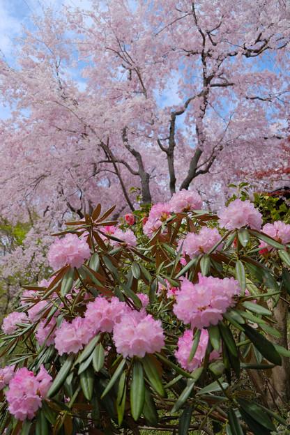 写真: シャクナゲと桜