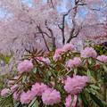 Photos: シャクナゲと桜