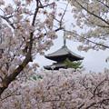 御室桜に囲まれて