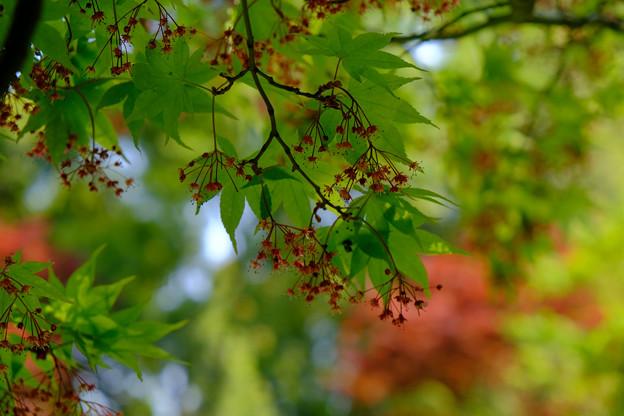 東御苑楓の花