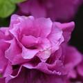 Photos: 平戸ツツジ八重紫2