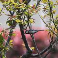 写真: 梅の木四十雀