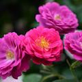 写真: 濃いピンク