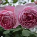 写真: ピンクのまきまき