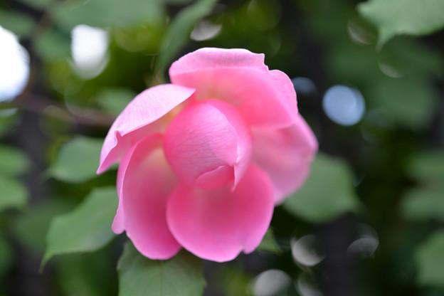写真: なんともピンク