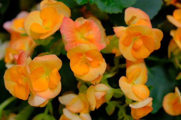 オレンジのベゴニア
