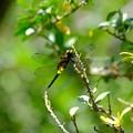 写真: コシアキトンボのメス1