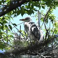 アオサギヒナ3羽