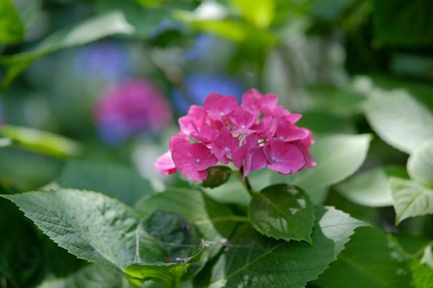 Gの紫陽花
