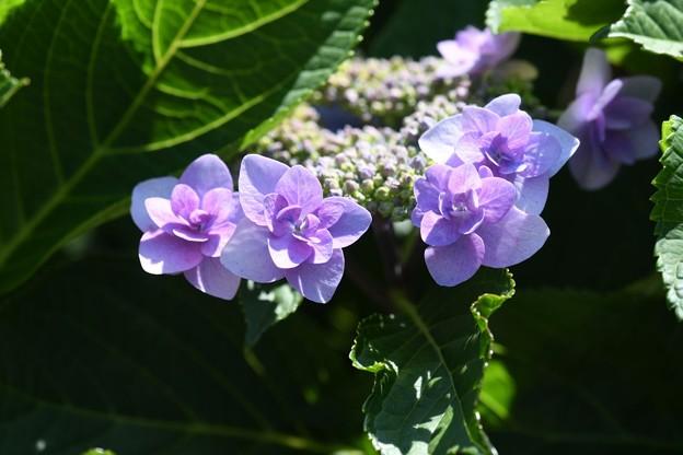 Hの紫陽花