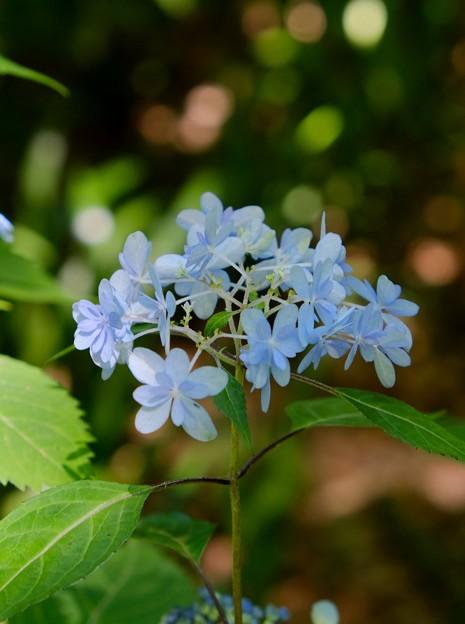 Iの紫陽花