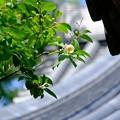 写真: 屋根と夏椿