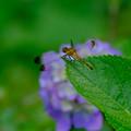 写真: マユタテアカネ薄紫