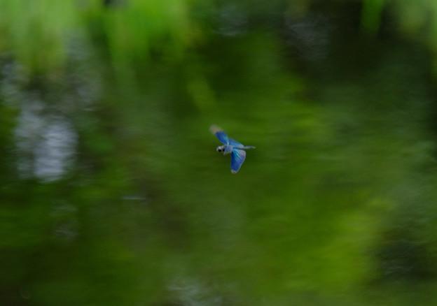 チョウトンボ飛ぶ