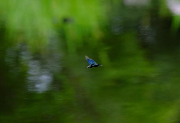 チョウトンボ飛ぶ2