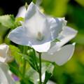 白いキキョウ