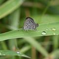 写真: 雨あがりのヤマトシジミ