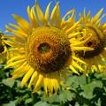 写真: 大きな向日葵
