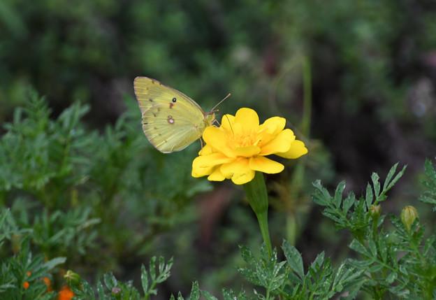 黄色い花にモンキチョウ2