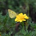 写真: 黄色い花にモンキチョウ2