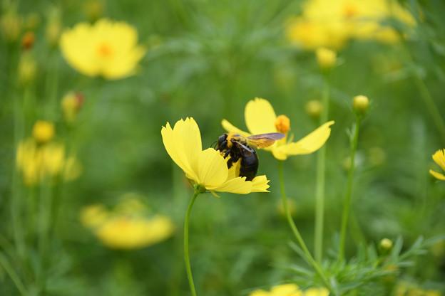 重そうなのはクマバチ
