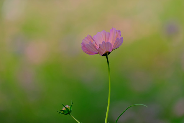 ひとつだけの花
