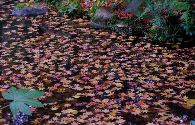 水の上の散紅葉