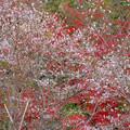 写真: 紅葉と桜のコラボ
