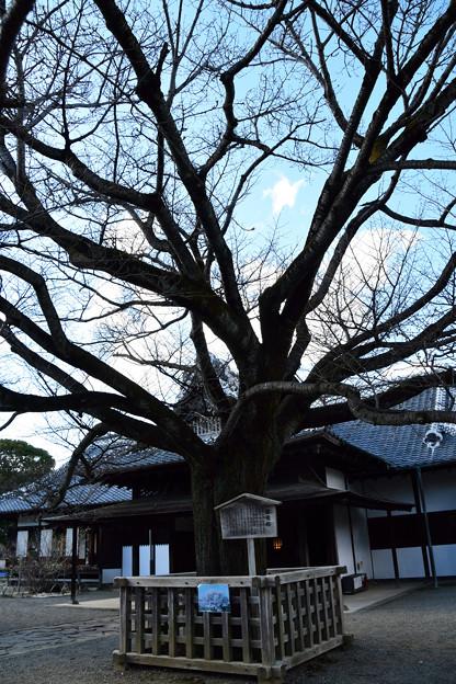 1弘道館の左近の桜