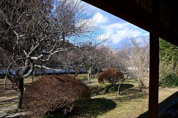 4お庭には梅と蝋梅がたくさん