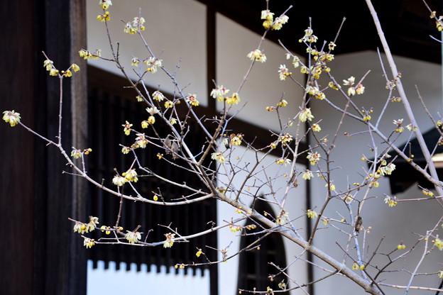 6弘道館の蝋梅