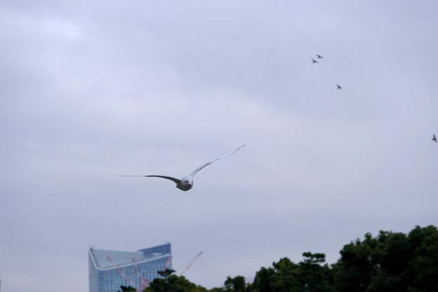 ユリカモメ飛ぶ2