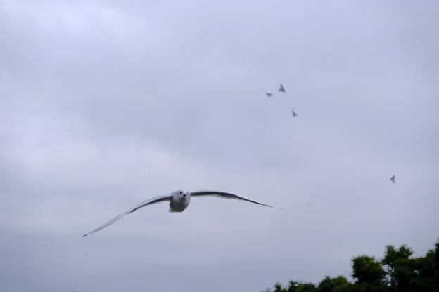 ユリカモメ飛ぶ3
