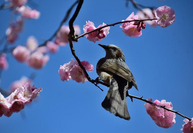 蝶の羽重ねにヒヨドリ