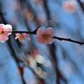 Photos: 藤牡丹枝垂れ3