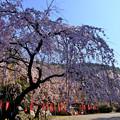 観音堂付近の桜
