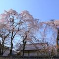 霊宝館内の桜