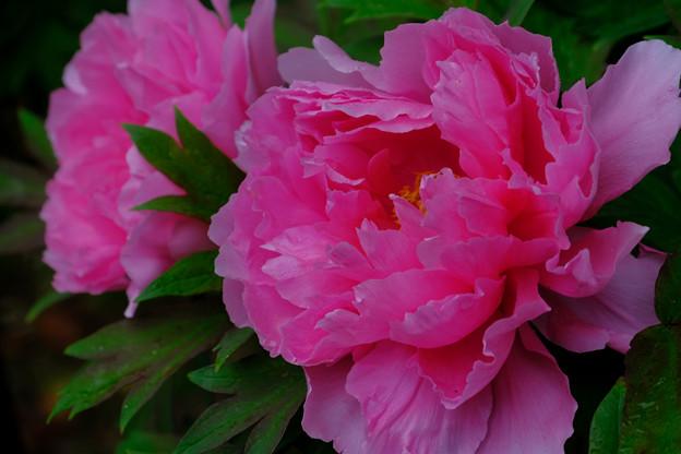 濃いピンクの牡丹
