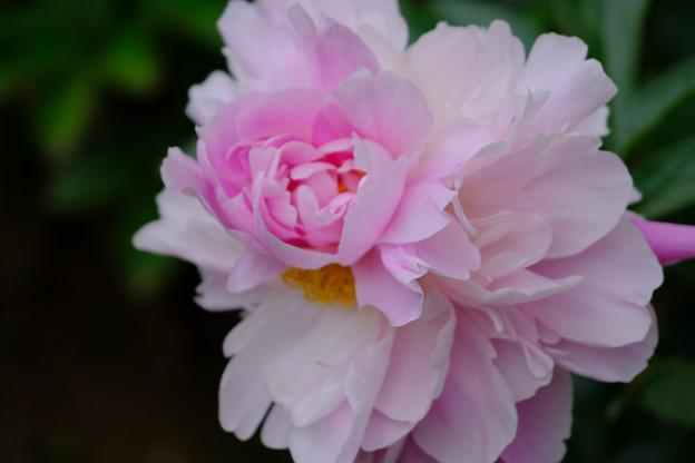 芍薬「百花の舞」