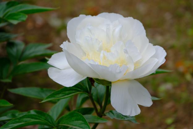 芍薬「花香殿」