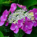 Photos: 雨の日の紫陽花